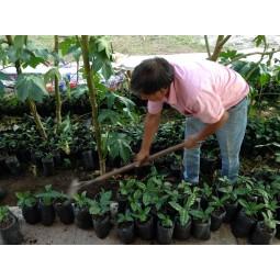 Roger prenant soin de la croissance de ses pousses de caféier