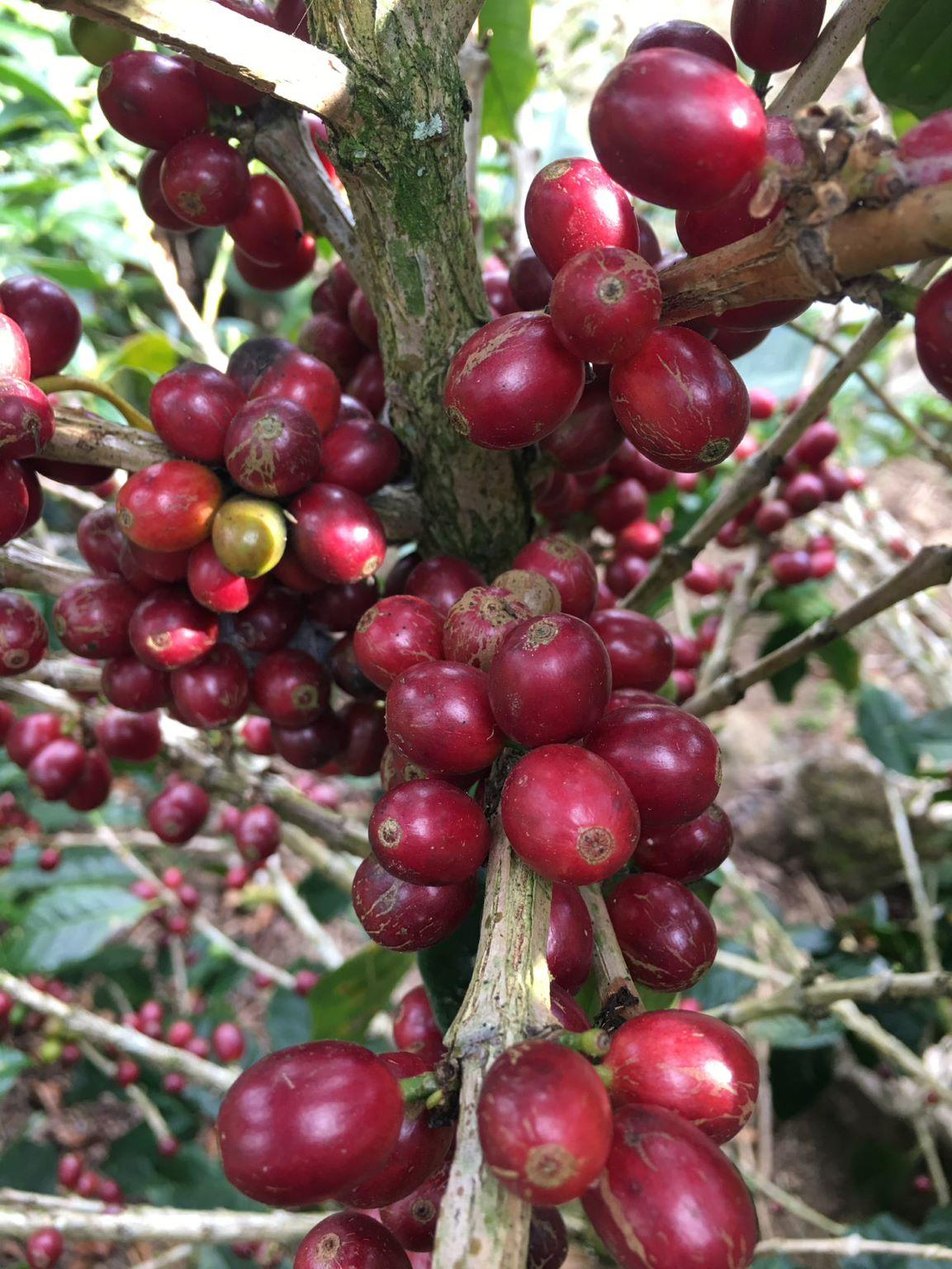 Coffee cherry Maria Jesus